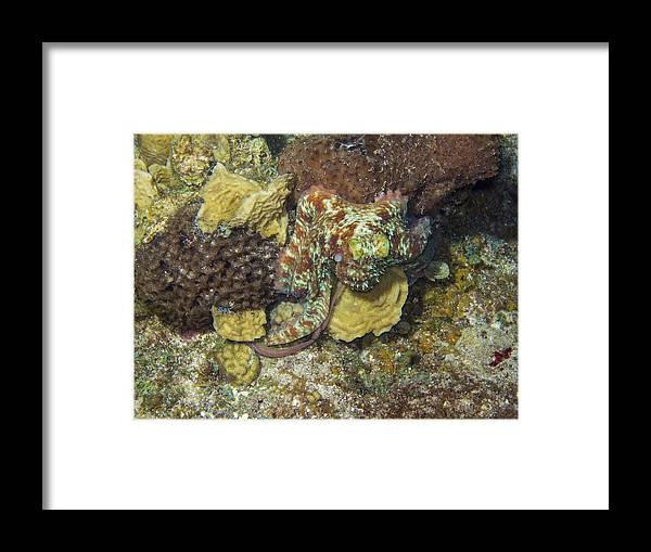 Caribbean Framed Print featuring the photograph Caribbean Reef Octopus IIi by Matt Swinden