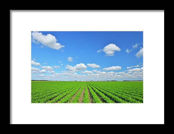 Tranquility Framed Print featuring the photograph Carrot Field by Raimund Linke