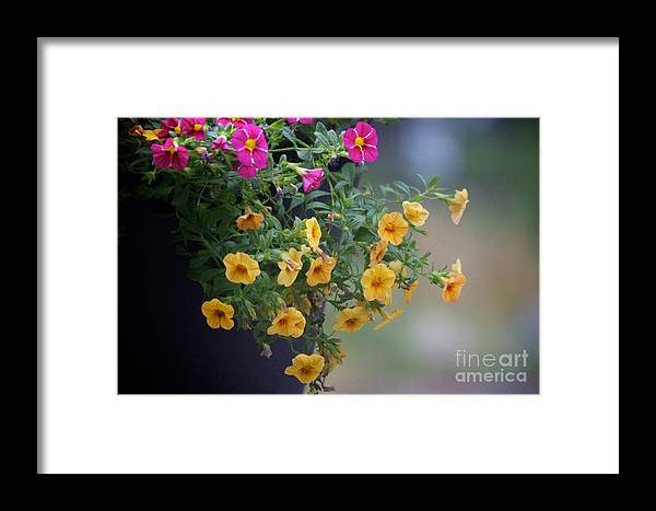 Petunia Framed Print featuring the photograph Cascade Of Color by June Hatleberg Photography