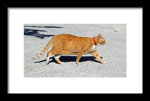 Cat Framed Print featuring the photograph Cat Walk by Cynthia Guinn
