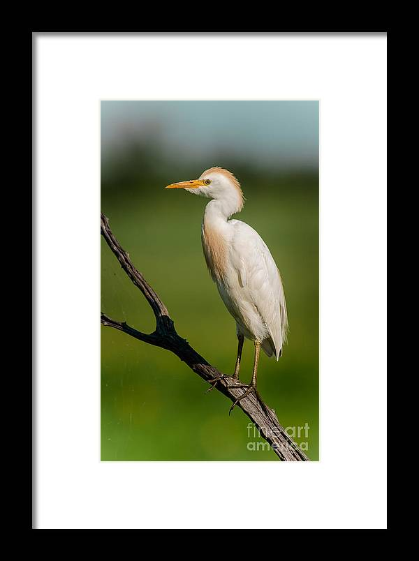 Animal Framed Print featuring the photograph Cattle Egret On Stick by Robert Frederick