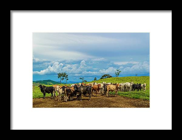 Grass Framed Print featuring the photograph Cattle by Kcris Ramos