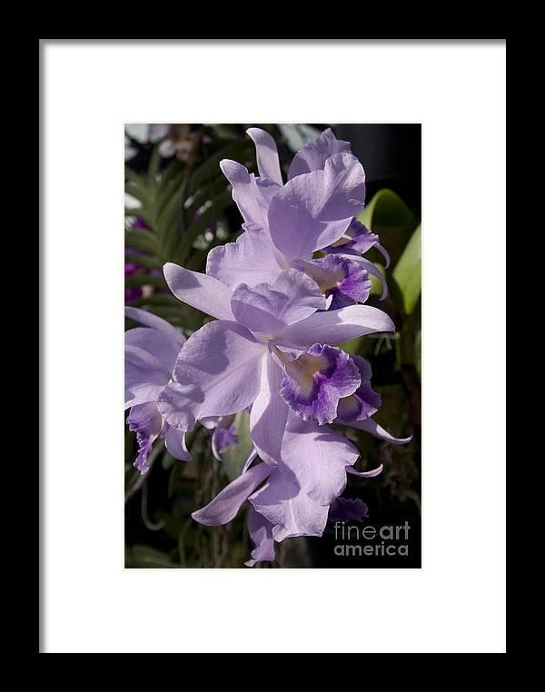 Cattlianthe Portia 'waldor' Orchid Framed Print featuring the photograph Cattlianthe Portia 'waldor' by Terri Winkler