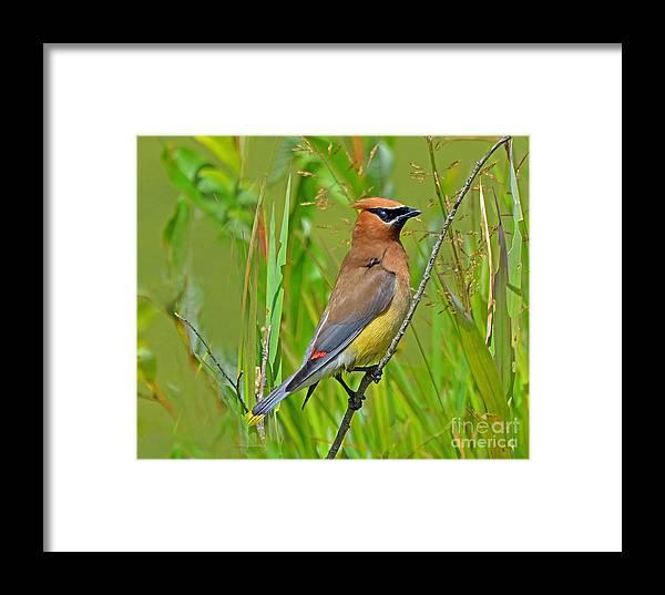 Bird Framed Print featuring the photograph Cedar Waxwing by Rodney Campbell