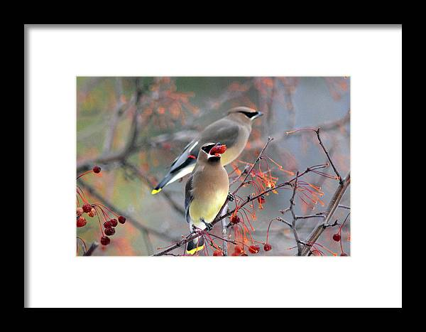 Birds Framed Print featuring the photograph Cedar Waxwings by Lisa Jaworski