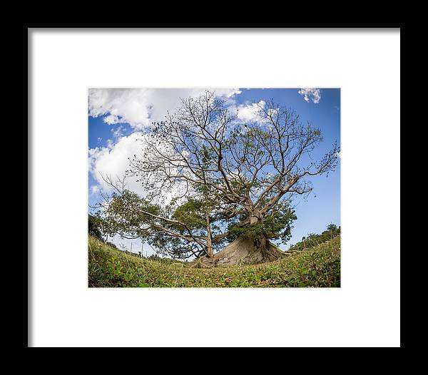 Tropical Framed Print featuring the photograph Ceiba by Carl Engman