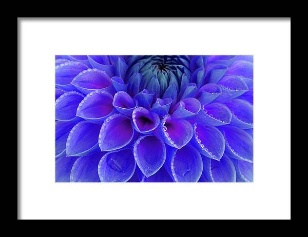 Haslemere Framed Print featuring the photograph Centre Of Blue And Purple Dahlia Flower by Rosemary Calvert