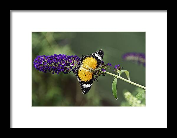 Butterfly Framed Print featuring the photograph Cethosia Hypsea Aka Malay Lacewing by Brian Blakesley