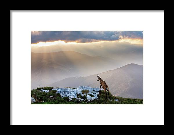 Nature Framed Print featuring the photograph Chamois In Piatra Craiului Romania by Dan Mirica
