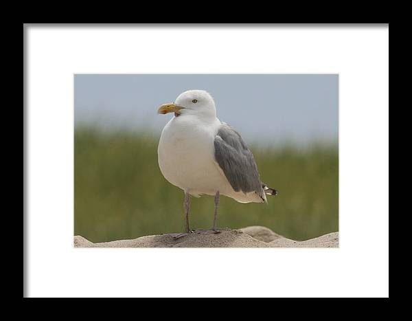 Cape Cod Framed Print featuring the photograph Chatham Gull by Kevin Stillman