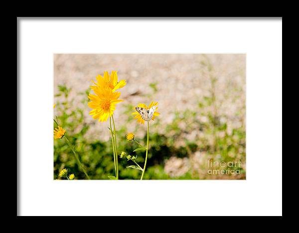Beautiful Framed Print featuring the photograph Checkered White Butterfly by Jim Pruitt