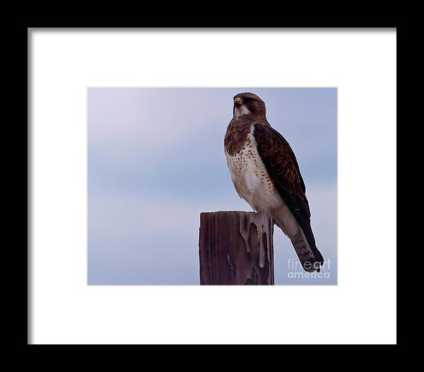 Hawk Framed Print featuring the photograph Checking The View by Terry Cotton