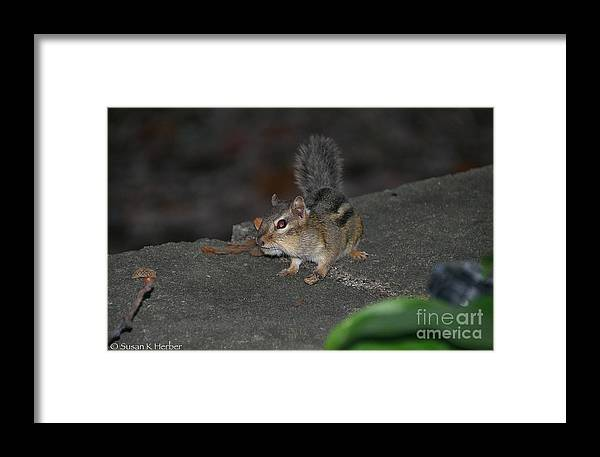Animal Framed Print featuring the photograph Cheeky by Susan Herber