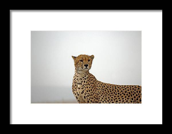 Cheetah Framed Print featuring the photograph Cheetah In Serengeti. by Tony Murtagh