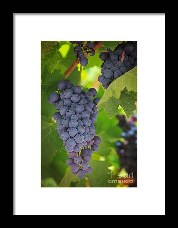 America Framed Print featuring the photograph Chelan Blue Grapes by Inge Johnsson