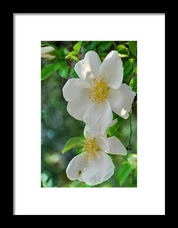 Floral Framed Print featuring the photograph Cherokee Roses by Jan Amiss Photography