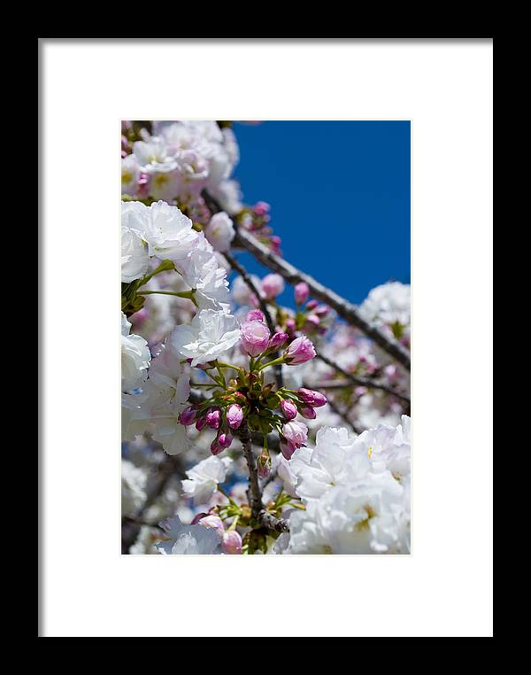 Flower Framed Print featuring the photograph Cherry Blossom Buds by Breanna Calkins