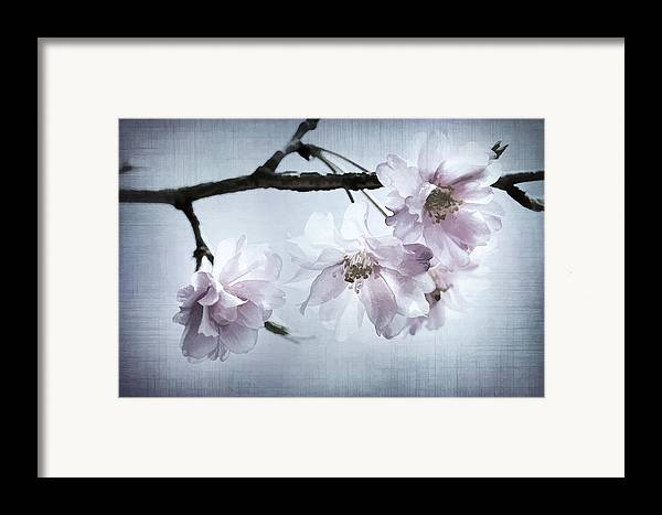 Cherry Framed Print featuring the photograph Cherry Blossom Sweetness by Kathy Clark