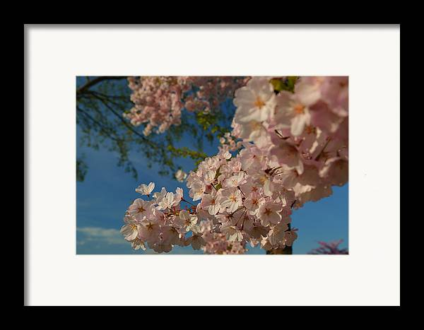 Architectural Framed Print featuring the photograph Cherry Blossoms 2013 - 035 by Metro DC Photography