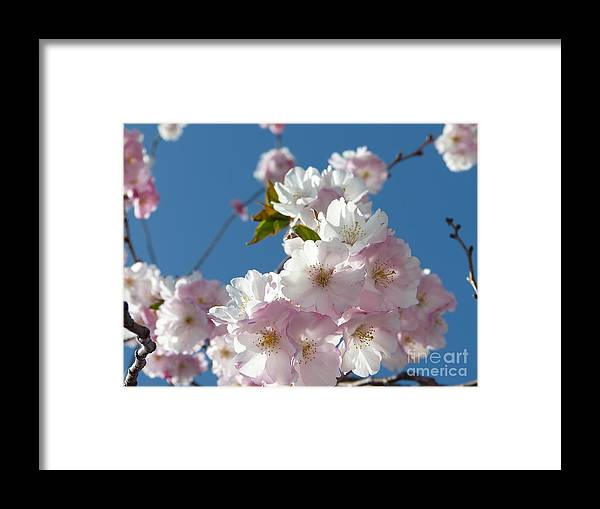 Cherry Blossoms Framed Print featuring the photograph Cherry Blossoms In Spring Xi by Christine Stack