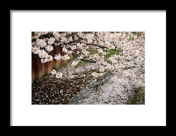 Season Framed Print featuring the photograph Cherry Blossoms by Photography By Zhangxun