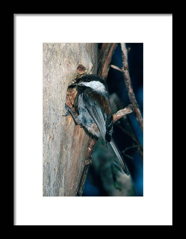 Animal Framed Print featuring the photograph Chestnut-backed Chickadee by Richard Hansen