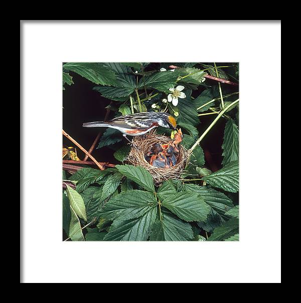 Adult With Young Framed Print featuring the photograph Chestnut-sided Warbler At Nest by G Ronald Austing