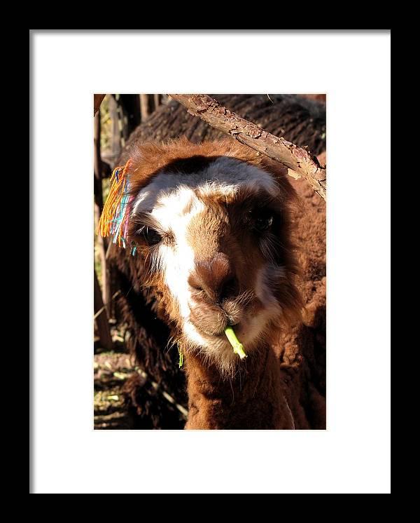 Llama Framed Print featuring the photograph Chewing Llama by Elizabeth Hardie