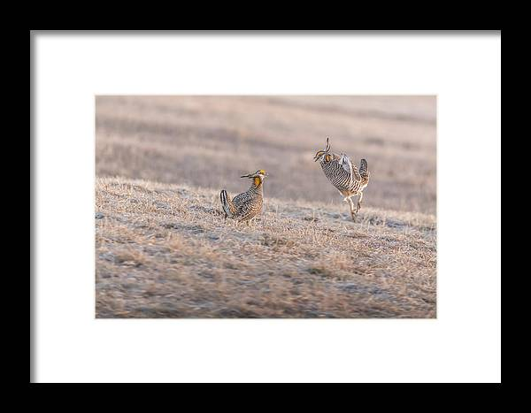 Wisconsin's Prairie Chicken Framed Print featuring the photograph Chicken Fight by Thomas Young