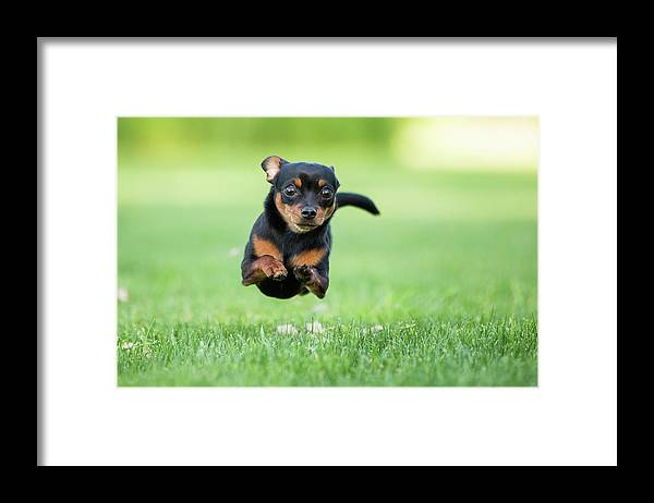 Pets Framed Print featuring the photograph Chihuahua Dog Running by Purple Collar Pet Photography