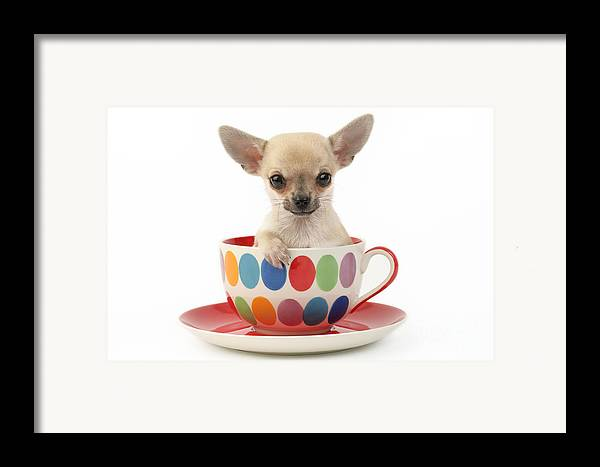 Chihuahua Framed Print featuring the digital art Chihuahua In Cup Dp684 by Greg Cuddiford