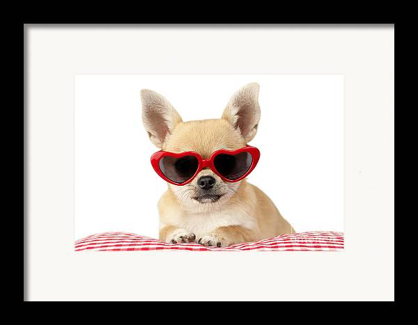 Chihuahua Framed Print featuring the digital art Chihuahua In Heart Sunglasses Dp813 by Greg Cuddiford