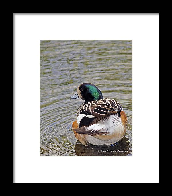 Chiloe Wigeon Framed Print featuring the photograph Chiloe Wigeon by Winston D Munnings