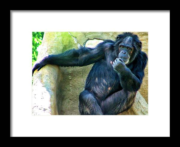 Primate Framed Print featuring the photograph Chimp 1 by Dawn Eshelman