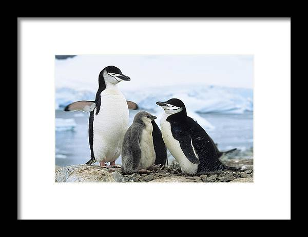 Feb0514 Framed Print featuring the photograph Chinstrap Penguins And Chicks Antarctica by Konrad Wothe