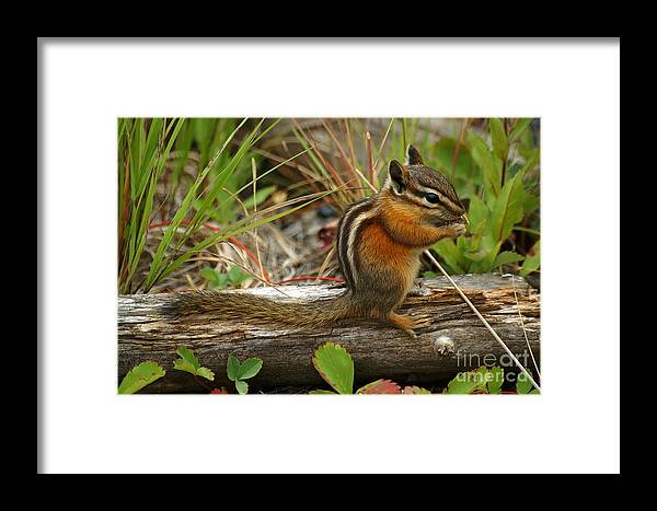 Adorable Framed Print featuring the photograph Chipmunk by Ralf Broskvar