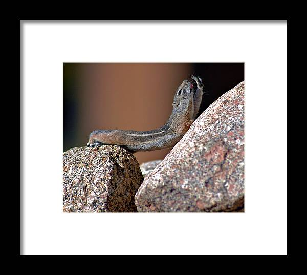 Wildlife Framed Print featuring the photograph Chipmunk Yoga by Jay Campbell