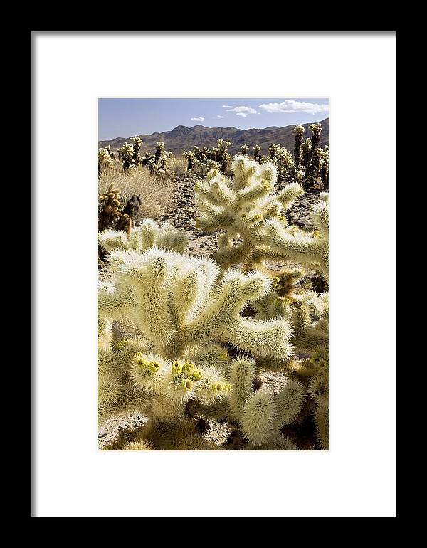 Plant Framed Print featuring the photograph Cholla (cylindropuntia Bigelovii) Cactus by Science Photo Library