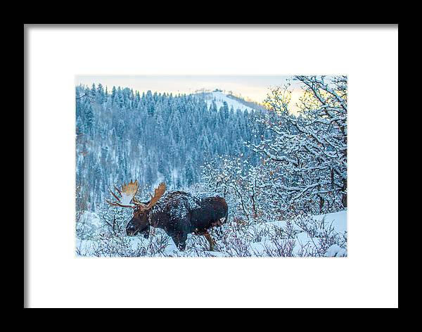 Moose Framed Print featuring the photograph Christie Moose by Kevin Dietrich