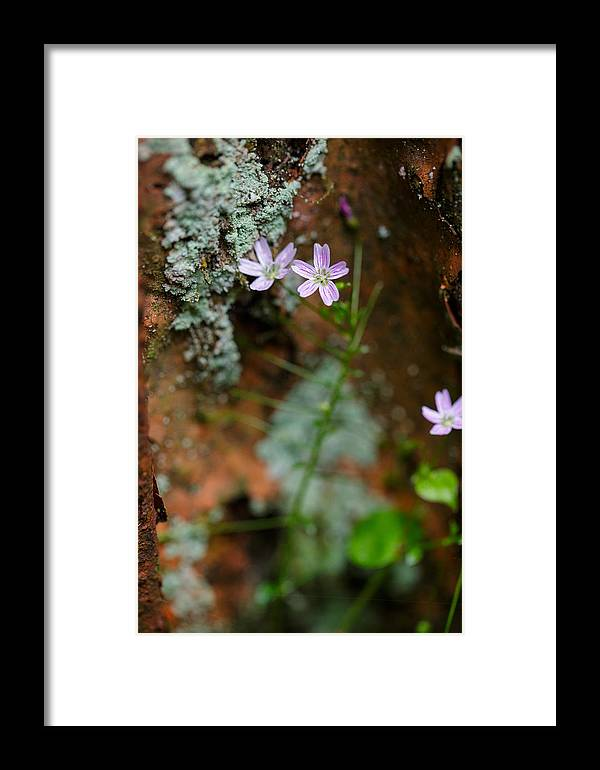 Rust Framed Print featuring the photograph Claytonia And Rust by Rick Berk