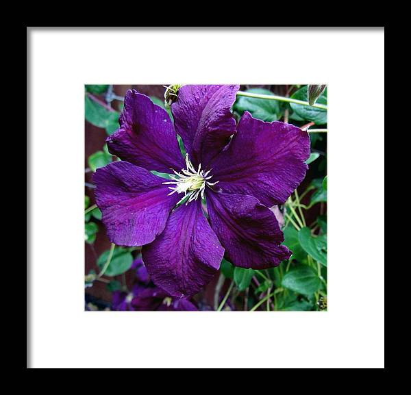 Flower Clematis Framed Print featuring the photograph Clematis Flower by Joyce Woodhouse