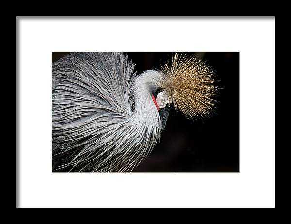 Tranquility Framed Print featuring the photograph Close Portrait Of A Grey Crowned Crane by © Santiago Urquijo