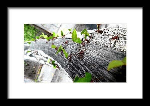 Leaf Cutter Ant Framed Print featuring the photograph Close-Up Of Ants Carrying Leaves by Carlos Ángel Vázquez Tena / EyeEm