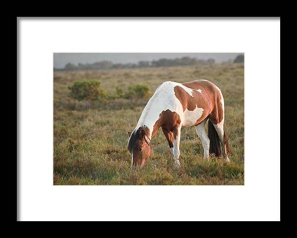 New Forest Pony Framed Print featuring the photograph Close Up Of Brown And White New Forest Pony Horse At Sunrise In by Matthew Gibson