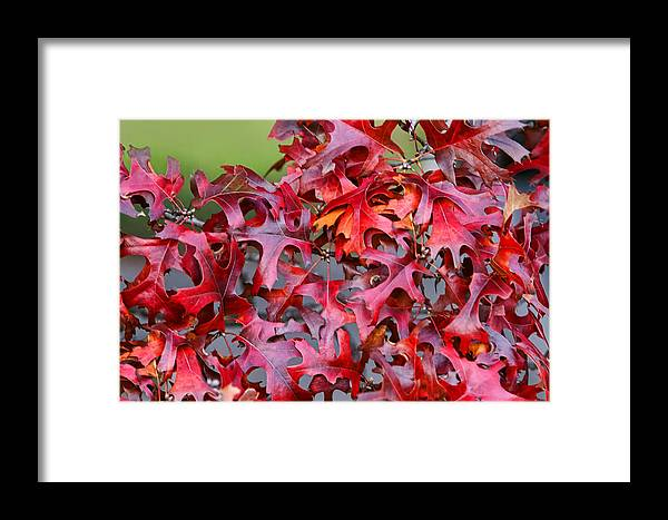 Nature Framed Print featuring the photograph Close View Red Oak Leaves by Linda Phelps