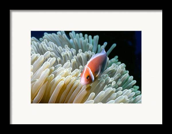 Micronesia Framed Print featuring the photograph Clownfish 9 by Dawn Eshelman