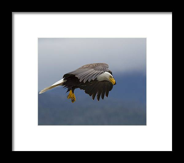 Bald Framed Print featuring the photograph Coastal Hunter by Mike Taddeo