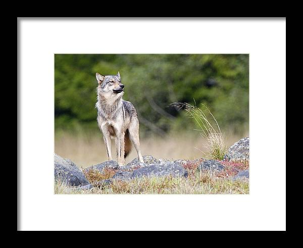 Gray Wolf Framed Print featuring the photograph Coastal Wolf by Max Waugh