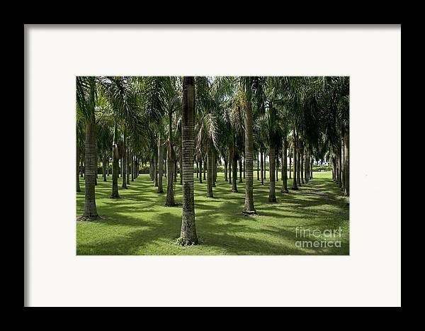 Abundance Framed Print featuring the photograph Coconuts Trees In A Row by Sami Sarkis