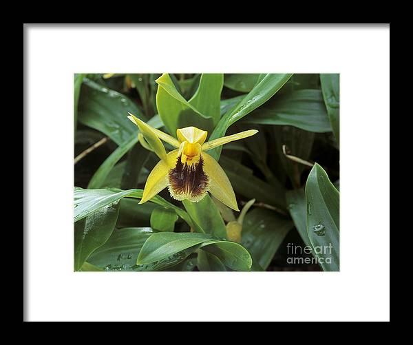 Coelogyne Fimbriata Framed Print featuring the photograph Coelogyne Fimbriata. by Geoff Kidd